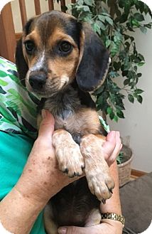 Beagle/Labrador Retriever Mix Puppy for adoption in Schaumburg, Illinois - Brenda-adoption pending