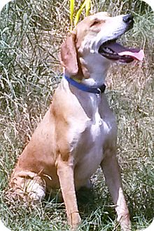 Catahoula Leopard Dog/Bloodhound Mix Dog for adoption in East Hartford, Connecticut - Jessie