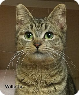 Domestic Shorthair Cat for adoption in Portland, Oregon - Willetta