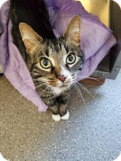 Domestic Shorthair Cat for adoption in Jamestown, Michigan - Kingsley - $20 adoption fee