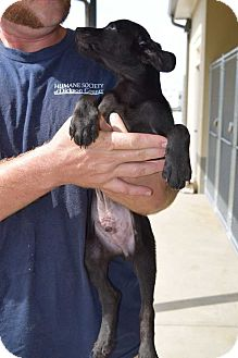 Dachshund Mix Puppy for adoption in Dickson, Tennessee - Gacy