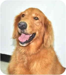 Golden Retriever Dog for adoption in Port Washington, New York - Sparky