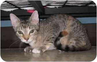 Domestic Shorthair Cat for adoption in Houston, Texas - Kate