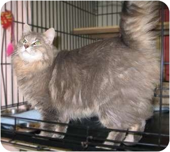 Domestic Longhair Cat for adoption in Maple Ridge, British Columbia - Meadow - VIDEOS