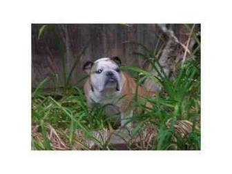 English Bulldog Dog for adoption in Molalla, Oregon - Ducky