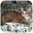 Photo 1 - Domestic Shorthair Cat for adoption in Santa Rosa, California - Pegasus