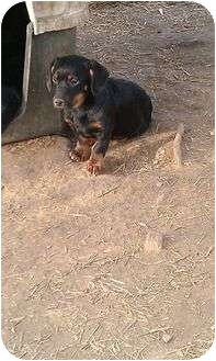 Dachshund Mix Puppy for adoption in Windham, New Hampshire - Decca