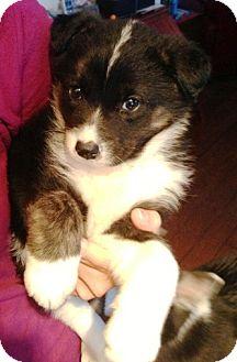 Border Collie/Husky Mix Puppy for adoption in Wasilla, Alaska - Shadow