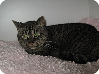 Domestic Shorthair Cat for adoption in Elliot Lake, Ontario - Pippy