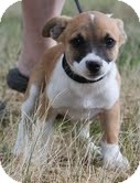 Jack Russell Terrier/Dachshund Mix Puppy for adoption in Foster, Rhode Island - Shadow