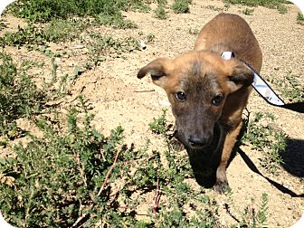 Labrador Retriever/Blue Heeler Mix Puppy for adoption in Westminster, Colorado - Jack