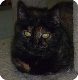 Domestic Shorthair Cat for adoption in Hamburg, New York - Harriet
