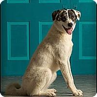 Adopt A Pet :: Allie - Owensboro, KY