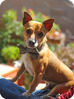Chihuahua Dog for adoption in Los Angeles, California - Julius