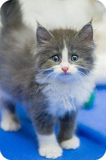 Domestic Longhair Kitten for adoption in Chicago, Illinois - Hampton