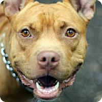 Adopt A Pet :: Mamasita - Tinton Falls, NJ