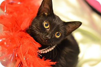 Domestic Shorthair Kitten for adoption in Everman, Texas - Baby Cat