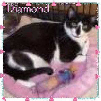 Domestic Shorthair Cat for adoption in East Brunswick, New Jersey - Diamond