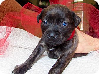 Labrador Retriever/Boxer Mix Puppy for adoption in Greenfield, Wisconsin - Hope