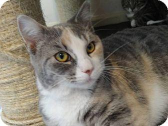 Calico Cat for adoption in Colmar, Pennsylvania - Betsy