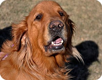 Golden Retriever Mix Dog for adoption in Great Falls, Montana - Big Red
