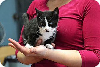 Domestic Shorthair Kitten for adoption in Brooklyn, New York - Marley