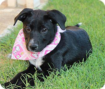 Labrador Retriever/Border Collie Mix Puppy for adoption in Las Vegas, Nevada - BLAIR