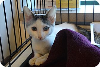 Domestic Shorthair Kitten for adoption in Elyria, Ohio - Kelly