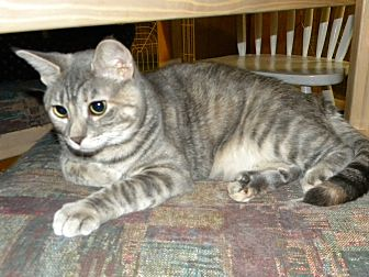 Domestic Shorthair Cat for adoption in Bartlett, Illinois - Penny