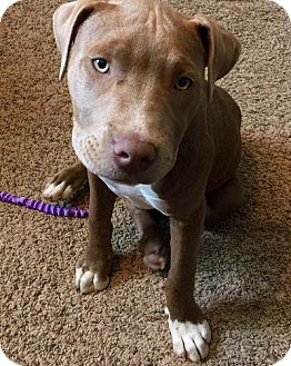 Pit Bull Terrier Mix Puppy for adoption in Sacramento, California - Hunny
