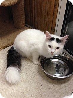 Domestic Longhair Cat for adoption in Columbus, Ohio - Puff