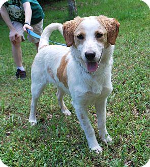 Hound (Unknown Type)/Terrier (Unknown Type, Medium) Mix Dog for adoption in Richmond, Virginia - Merlin