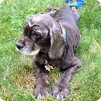 Adopt A Pet :: Milo - Grafton, MA
