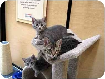 Domestic Shorthair Kitten for adoption in Huntington Beach, California - 5 Kittens!