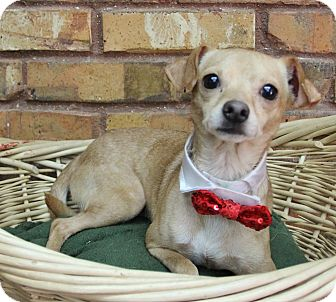 Chihuahua Mix Dog for adoption in Benbrook, Texas - Gabe