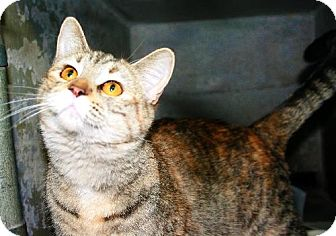 Domestic Shorthair Cat for adoption in Kankakee, Illinois - Carly