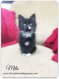 Domestic Longhair Kitten for adoption in Pascagoula, Mississippi - Milo