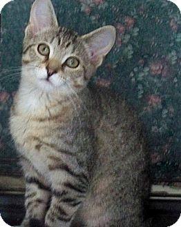 American Shorthair Cat for adoption in Rochester, New York - Jane