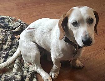 Basset Hound Mix Dog for adoption in Hagerstown, Maryland - Duchess