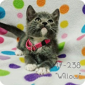 Domestic Shorthair Kitten for adoption in Cannelton, Indiana - Willow