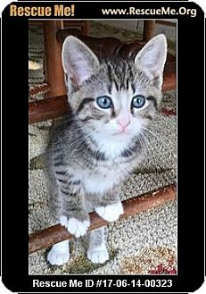 Domestic Shorthair Kitten for adoption in Waldorf, Maryland - Cry Baby