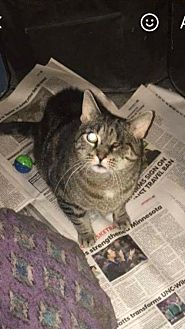 Domestic Mediumhair Cat for adoption in Rockaway, New Jersey - Patches
