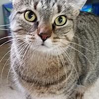 Domestic Shorthair Cat for adoption in E. Claridon, Ohio - Chuckie