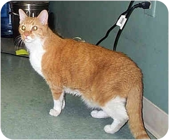Domestic Shorthair Cat for adoption in Albany, Georgia - Max