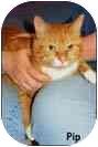 Domestic Shorthair Cat for adoption in Merrifield, Virginia - Pip