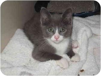 Domestic Mediumhair Kitten for adoption in Charlotte, North Carolina - Katie