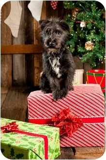 Schnauzer (Miniature)/Terrier (Unknown Type, Small) Mix Puppy for adoption in Portland, Oregon - Oreo