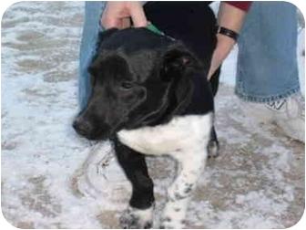 Basset Hound/Pembroke Welsh Corgi Mix Dog for adoption in Mason City, Iowa - Jessie