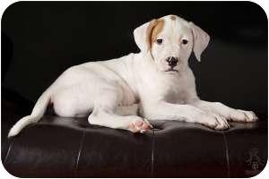 Cattle Dog/American Bulldog Mix Puppy for adoption in Kingwood, Texas - Peanut
