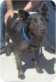 Australian Shepherd/Sheltie, Shetland Sheepdog Mix Dog for adoption in Gaffney, South Carolina - Bell Bottom